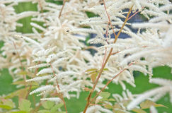 Feathery white Astilbe flowers. Green garden in July, Sweden Stock Photography
