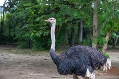 Feature-Africa ostrich-Struthio camelus. The ostrich family is an ostrich family. It is the largest bird in the world. The adult bird can reach 2.5 meters tall Royalty Free Stock Photo