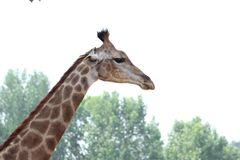 Feature of giraffe. In sunny day in summer in zoo royalty free stock images