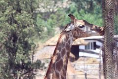 Feature of giraffe. In sunny day in the zoo around the tree royalty free stock photo