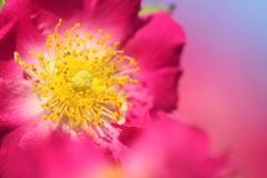 Feature of redbush. In sunny day in springtime, macro for petals and stamen royalty free stock photo
