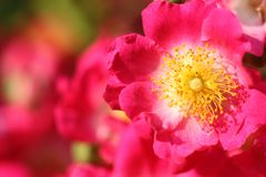 Feature of redbush. In sunny day in springtime, macro for petals and stamen stock image