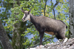 Featured chamois (Rupicapra rupicapra) Stock Image