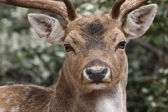 Featured on deer in the wild Stock Photos