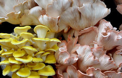 Featured mushroom in yellow and pink Royalty Free Stock Images