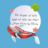 Features of Shova Carp Koi, traditional sacred Japanese fish, element for creating your own infographic design with. Handwritten text, colorful vector Stock Photo