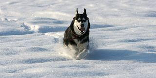Siberian Husky running fast over the snow. A feautiful female siberian Husky running fast over the snow at -15 Celsis degrees stock image