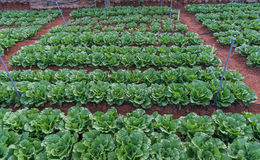 10, FEB 2017 οι αγρότες Dalat- Dalat φυτεύουν τα λάχανα σε DonDuong- Lamdong, Βιετνάμ Στοκ φωτογραφία με δικαίωμα ελεύθερης χρήσης