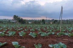 10, FEB 2017 οι αγρότες Dalat- Dalat φυτεύουν τα λάχανα σε DonDuong- Lamdong, Βιετνάμ Στοκ Φωτογραφία