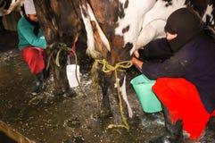 Feb-2005, Anden, Equador, mulher do fazendeiro em Equador ordenha uma vaca foto de stock