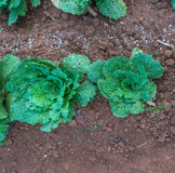 10, Feb. 2017 Dalat- the Chinese cabbages in DonDuong- Lamdong, Vietnam Royalty Free Stock Images