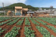 10, Feb Dalat- 2017 der Landwirt schützt ihre Kohlpflanzen in DonDuong- Lamdong, Vietnam % Stockbilder