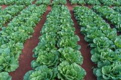 10, Feb Dalat- 2017 die Kohlpflanzen in DonDuong- Lamdong, Vietnam Lizenzfreie Stockbilder