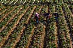 10, Feb Dalat- 2017 drei Frauen Famer, der Erdbeere beim Morrning, Reihe der Erdbeere erntet Lizenzfreie Stockfotografie