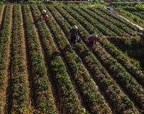 10, Feb. 2017 Dalat- Famer harvesting strawberry in morrning, Row of strawberry. The Vietnamese females harvesting the strawberry on their farm, under the sun royalty free stock image