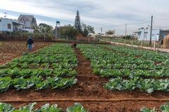 10, Feb Dalat-Kohlpflanzen 2017 in DonDuong- Lamdong, Vietnam % Lizenzfreie Stockfotografie