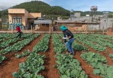10, Feb Dalat-Kohlpflanzen 2017 in DonDuong- Lamdong, Vietnam % Stockbild