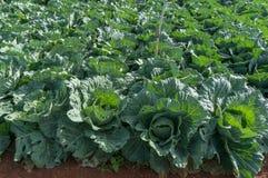 10, Feb Dalat-Kohlpflanzen 2017 in DonDuong- Lamdong, Vietnam % Stockfoto