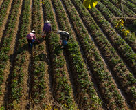 10, Feb. 2017 Dalat- Three females Famer harvesting strawberry in morrning, Row of strawberry Stock Image