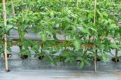22, Feb 2017 Dalat-Tomatenpflanzen im grünen Haus, frische Tomaten Stockbilder