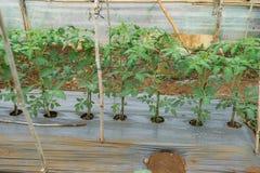 22, Feb 2017 Dalat-Tomatenpflanzen im grünen Haus, frische Tomaten Lizenzfreie Stockfotos