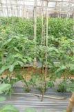 22, Feb 2017 Dalat-Tomatenpflanzen im grünen Haus, frische Tomaten Stockfotografie