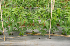 22, Feb. 2017 Dalat- Tomato plants in green house, fresh tomatos Stock Photography