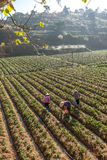 10, Feb. 2017 Dalat- Two females Famer harvesting strawberry in morrning, Row of strawberry. The Vietnamese females harvesting the strawberry on their farm stock photography