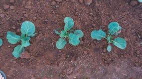 10, Feb Pflanzen Landwirte 2017 Dalat- Dalat die Kohlpflanzen in DonDuong- Lamdong, Vietnam Stockfoto