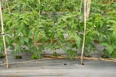 22, febbraio 2017 piante di pomodori di Dalat- in serra, pomodori freschi Fotografia Stock