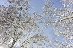 trees with snow and a blue sky in background Stock Photos