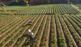 10, febrero Dalat- 2017 dos hembras Famer que cosecha la fresa en morrning, fila de la fresa Fotografía de archivo libre de regalías