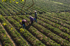 10, febrero Dalat- 2017 dos hembras Famer que cosecha la fresa en morrning, fila de la fresa Imagen de archivo libre de regalías