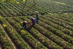 10, febrero Dalat- 2017 dos hembras Famer que cosecha la fresa en morrning, fila de la fresa Foto de archivo libre de regalías