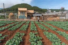 10, febrero Dalat- 2017 el granjero protege sus coles en DonDuong- Lamdong, Vietnam % Imagenes de archivo