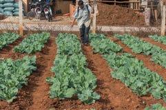 10, febrero Dalat- 2017 el granjero protege sus coles en DonDuong- Lamdong, Vietnam % Fotografía de archivo