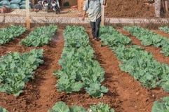 10, febrero Dalat- 2017 el granjero protege sus coles en DonDuong- Lamdong, Vietnam % Fotos de archivo libres de regalías