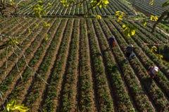 10, febrero Dalat- 2017 Famer que cosecha la fresa en morrning, fila de la fresa Imagenes de archivo