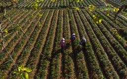 10, febrero Dalat- 2017 Famer que cosecha la fresa en morrning, fila de la fresa Foto de archivo