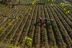 10, febrero Dalat- 2017 Famer que cosecha la fresa en morrning, fila de la fresa Imagen de archivo