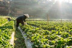 10, febrero Dalat- 2017 la mujer mayor vietnamita que cosecha la fresa en su granja, bajo luz del sol, irradia en el fondo Foto de archivo libre de regalías