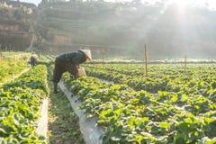 10, febrero Dalat- 2017 la mujer mayor vietnamita que cosecha la fresa en su granja, bajo luz del sol, irradia en el fondo Fotografía de archivo
