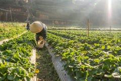 10, febrero Dalat- 2017 la mujer mayor vietnamita que cosecha la fresa en su granja, bajo luz del sol, irradia en el fondo Fotos de archivo libres de regalías