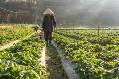 10, febrero Dalat- 2017 la mujer mayor vietnamita que cosecha la fresa en su granja, bajo luz del sol, irradia en el fondo Imágenes de archivo libres de regalías
