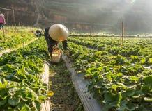 10, febrero Dalat- 2017 la mujer mayor vietnamita que cosecha la fresa en su granja, bajo luz del sol, irradia en el fondo Imagenes de archivo