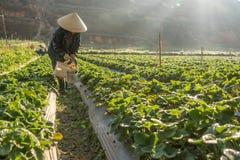 10, febrero Dalat- 2017 la mujer mayor vietnamita que cosecha la fresa en su granja, bajo luz del sol, irradia en el fondo Imagen de archivo