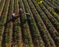 10, febrero Dalat- 2017 tres hembras Famer que cosecha la fresa en morrning, fila de la fresa Imagen de archivo