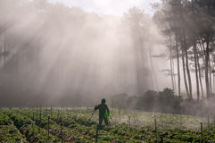 18, febrero 2017 - el granjero protege su fresa y rayos en el fondo Dalat- Lamdong, Vietnam imagenes de archivo