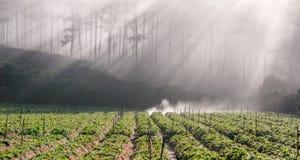 18, febrero 2017 - el granjero protege su fresa y rayos en el fondo Dalat- Lamdong, Vietnam Fotografía de archivo