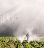 18, febrero 2017 - el granjero protege su fresa y rayos en el fondo Dalat- Lamdong, Vietnam fotos de archivo libres de regalías